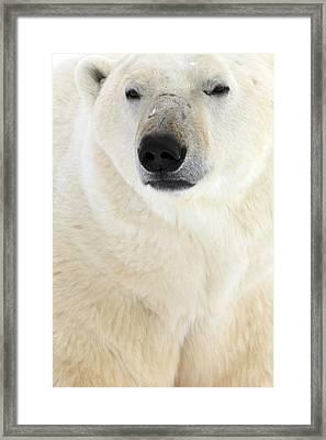 Polar Bear, Churchill, Manitoba Framed Print by Robert Postma