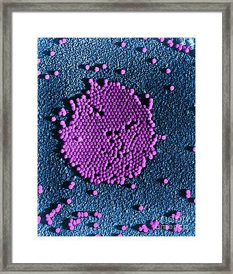 Poliovirus, Tem Framed Print by Science Source
