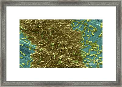 Potable Water Biofilm Framed Print by Science Source