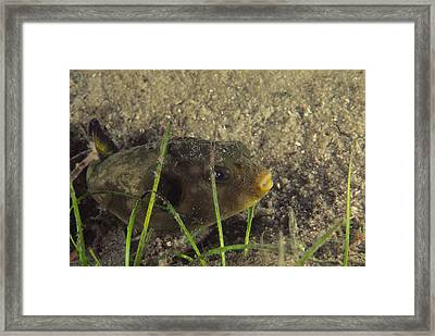Pufferfish Framed Print by Alexis Rosenfeld