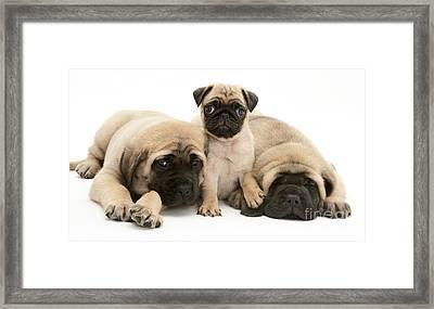 Pug And English Mastiff Puppies Framed Print by Jane Burton