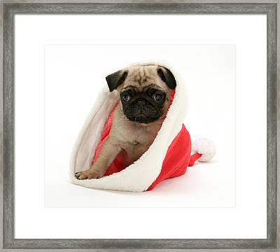 Pug Puppy Framed Print by Jane Burton