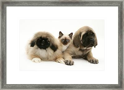 Puppies And Kitten Framed Print
