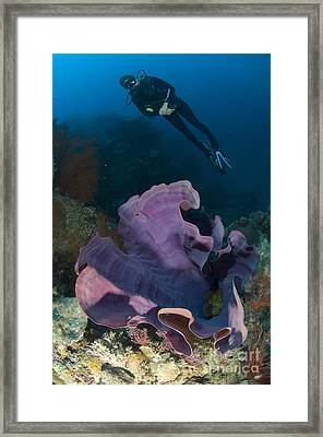 Purple Elephant Ear Sponge With Diver Framed Print by Steve Jones