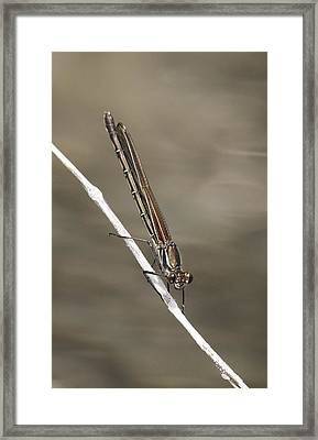 Framed Print featuring the photograph Red Bluet by Betty Depee
