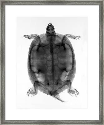 Red-eared Slider Turtle X-ray Framed Print by Ted Kinsman