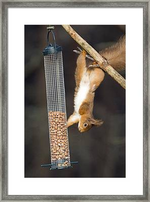 Red Squirrel Framed Print by Duncan Shaw