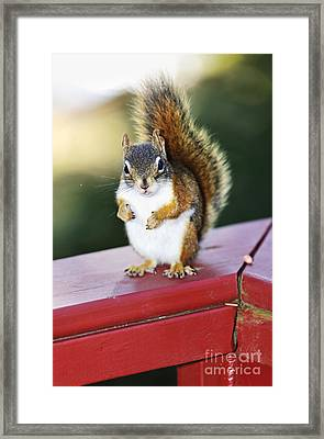 Red Squirrel On Railing Framed Print