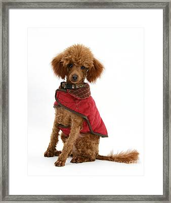 Red Toy Poodle Framed Print