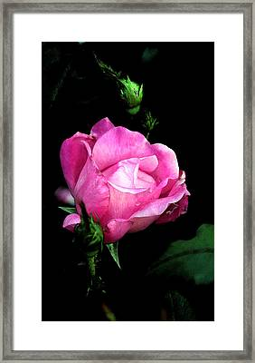 Regal Rose Framed Print by Karen Harrison