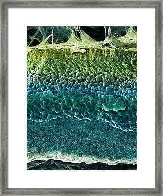 Retina, Sem Framed Print by Steve Gschmeissner