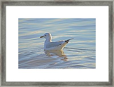 Ring-billed Gull Framed Print