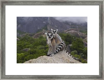 Ring-tailed Lemur Lemur Catta Mother Framed Print