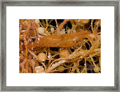 Sargassum Shrimp Framed Print