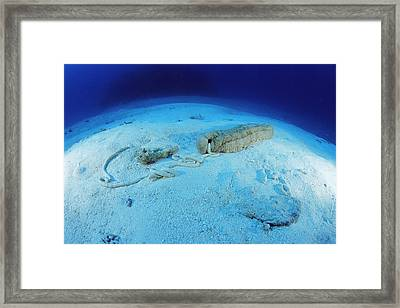Sea Cucumber Framed Print by Alexis Rosenfeld