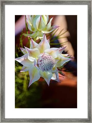 Serruria Rosea Framed Print by Werner Lehmann