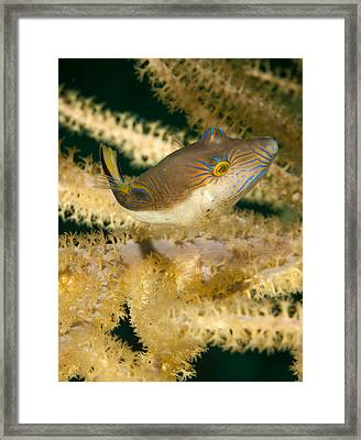 Puffer Acrobatics Framed Print by Jean Noren