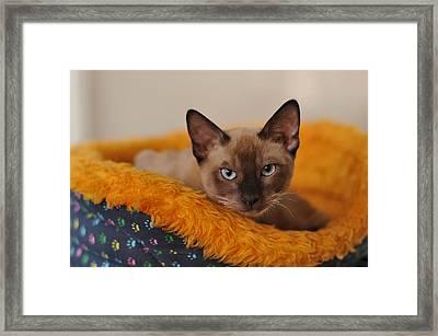 Siamese Cat Framed Print by Waldek Dabrowski