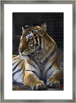 Siberian Tiger Framed Print by JT Lewis