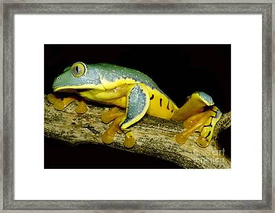 Splendid Leaf Frog Framed Print by Dante Fenolio