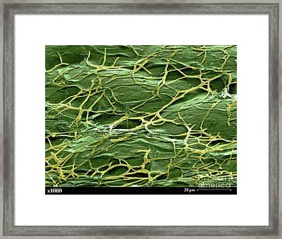Staghorn Fern, Sem Framed Print by Ted Kinsman