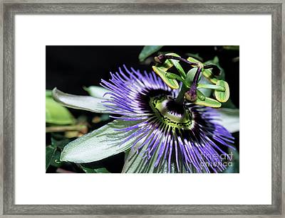 Stamen Of A Passionflower Framed Print