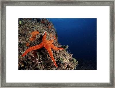 Starfish Framed Print by Alexis Rosenfeld