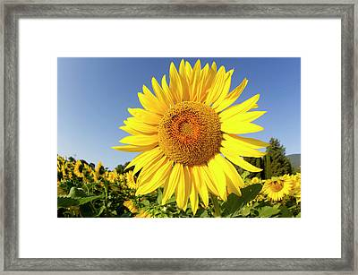 Sunflower Fields In Tuscany,italy. Framed Print by Chris Cole