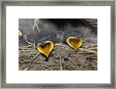 Swallow Chicks Framed Print by Georgette Douwma