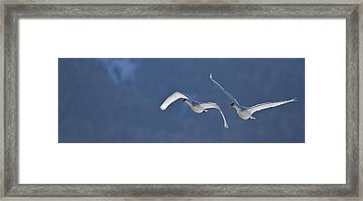 Swans Flying In Formation, Yukon Framed Print by Robert Postma