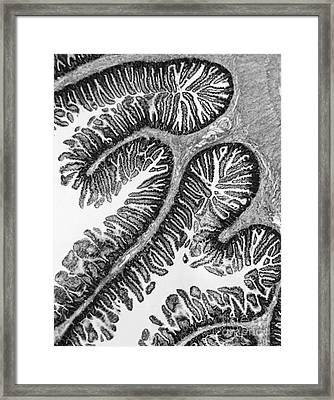 Tem Of Intestines Villi Framed Print by Science Source