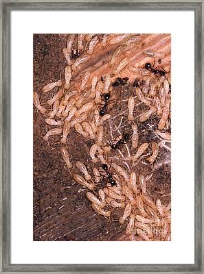 Termite Nest Reticulitermes Flavipes Framed Print by Ted Kinsman