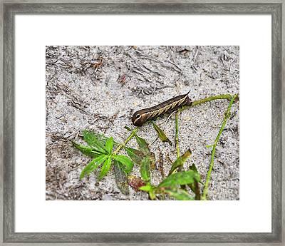 Tersa Sphinx Caterpillar Framed Print