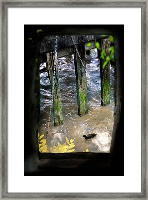 Framed Print featuring the photograph Thames Coot by Richard Piper