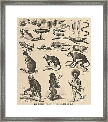 The Descent Of Man, Ernst Haeckel, 1871 Framed Print