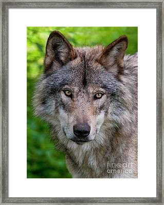 Timber Wolf Portrait Framed Print by Michael Cummings