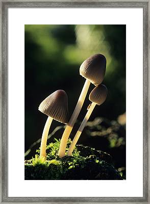 Toadstools Framed Print by David Aubrey