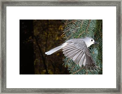 Tufted Titmouse In Flight Framed Print by Ted Kinsman