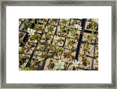 Venus Flytraps As They Consume Insects Framed Print by Joel Sartore
