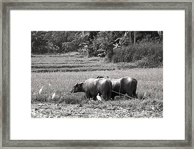Water Buffalo Framed Print by Jane Rix