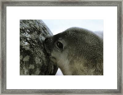 Weddell Seals Framed Print by Doug Allan