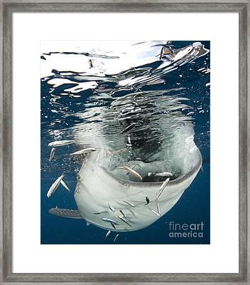 Whale Shark Feeding Under Fishing Framed Print