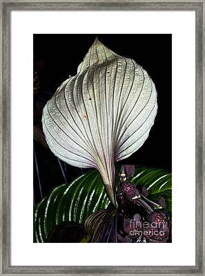White Bat Plant Framed Print by Johan Larson