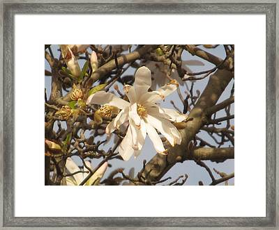 White Magnolias Framed Print by Alfred Ng