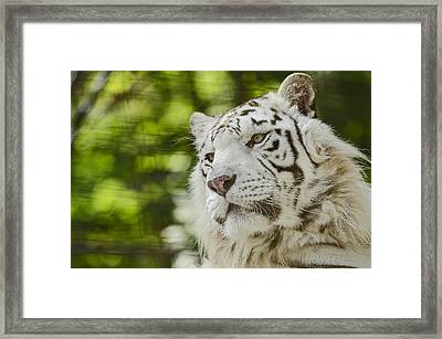 White Tiger Framed Print by JT Lewis