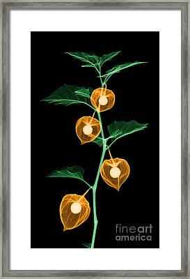 X-ray Of Chinese Lantern Plant Framed Print by Ted Kinsman