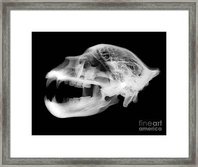X-ray Of Kodiak Bear Skull Framed Print by Ted Kinsman