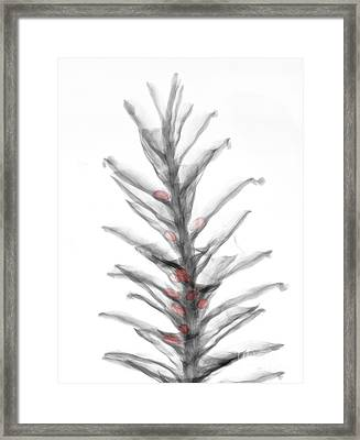 X-ray Of Pinecone With Seeds Framed Print by Ted Kinsman