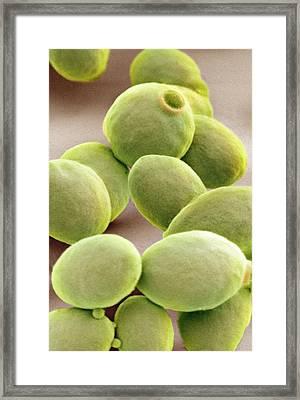 Yeast Cells, Sem Framed Print by Thomas Deerinck, Ncmir