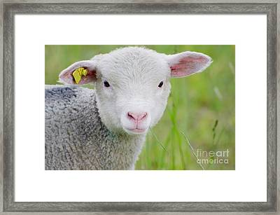 Young Sheep Framed Print
